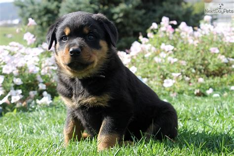 puppy rottweiler for sale near me rottweiler puppy for sale near lancaster pennsylvania 24237cf9 7641