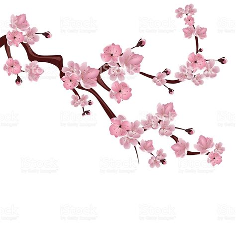 cherry blossom clip blossom clipart pink blossom pencil and in color blossom