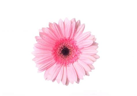 Flowery Top top view of pink flower with drops photo free