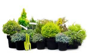 dwarf conifers conifer trees containers small