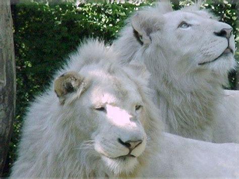 imagenes de leones albinos 狮子图片 狮子图片大全 狮子头图片 淘宝助理