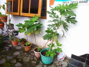 6 cara menanam buah tin dalam pot panduan lengkap ilmubudidaya com