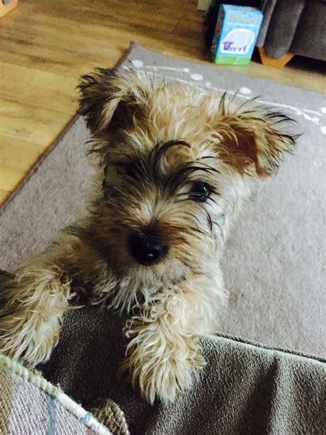 yorkie bichon puppy yorkie x bichon puppy pontypool torfaen pets4homes