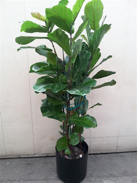 plant affair llc los angeles leading interior plant
