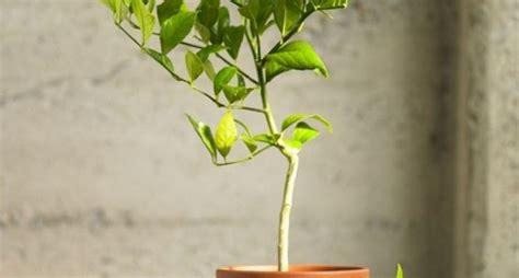 malattie della pianta di limone vaso limone malattie malattie delle piante malattie limone