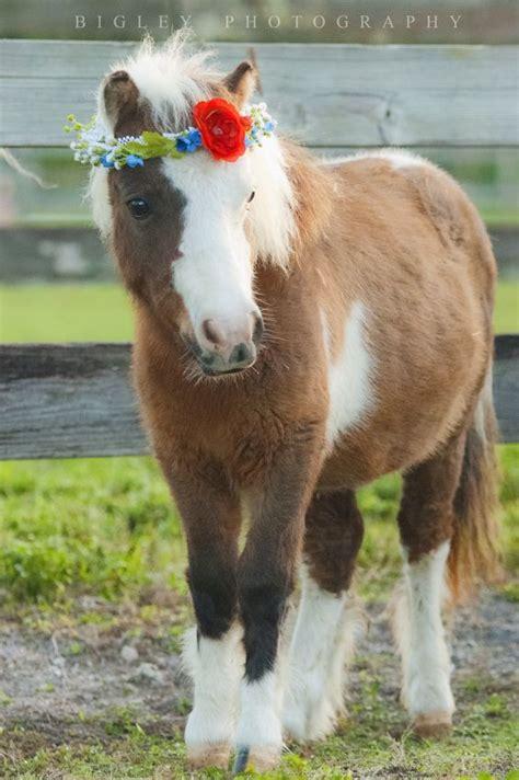 mini pony bigley photography equestrian equestrian photography