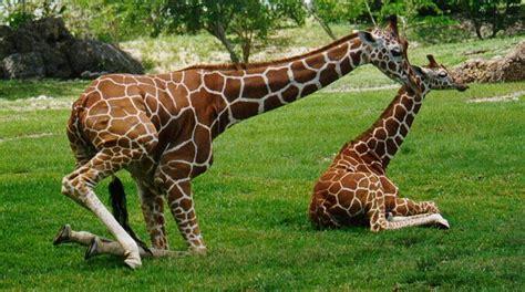 imagenes de jirafas salvajes jirafa cientos de imagenes