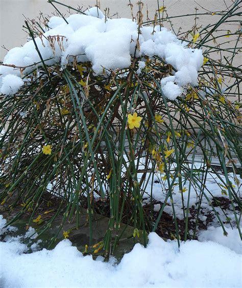 Outdoor Patio Designs Winter Jasmine Jasminum Nudiflorum Revolutionary Gardens