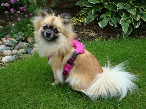 pomeranian puppy harness edog fleece harness reviews shop