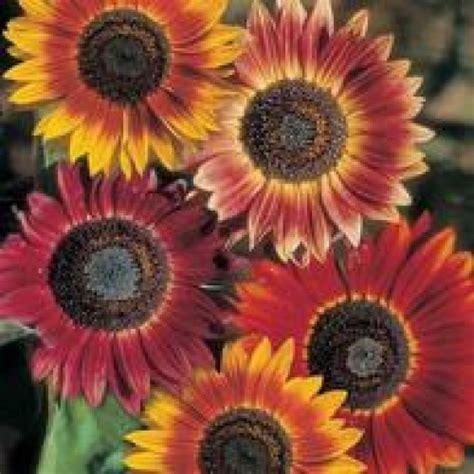 Biji Bunga Matahari Per Kilo bibit sunflower evening sun