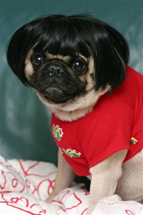 pugs in clothes andpop the you need to follow now pugs in clothes