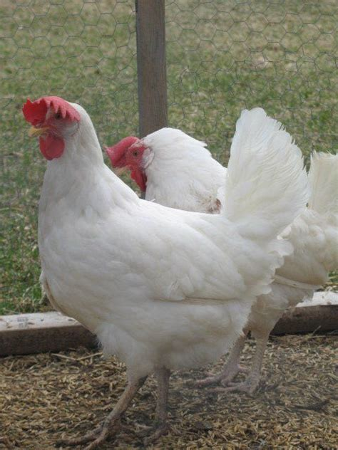 leghorn backyard chickens