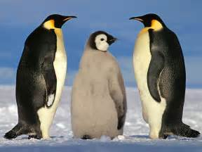 Emperor Penguin Wallpaper And Background Animals Town