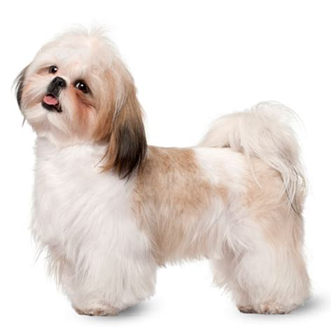 bichon shih tzu mix expectancy cocker spaniel health facts by petplan petplan