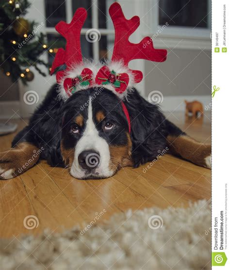 bernese mountain dog wears antlers  christmas royalty  stock photography image