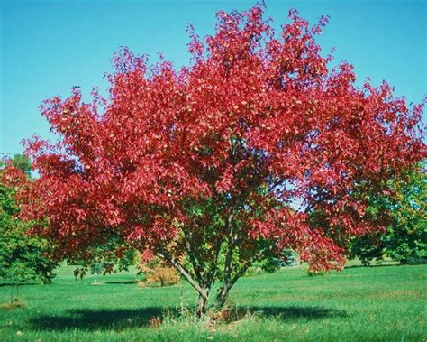 chicago illinois landscaping buy amur flame maple trees online