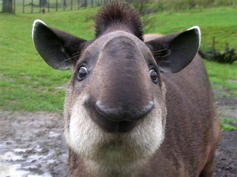 urial wallpapers animals town tapir wallpaper animals town