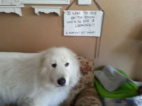 my dog pees on the couch 4539 best images about dog shame on pinterest to pee