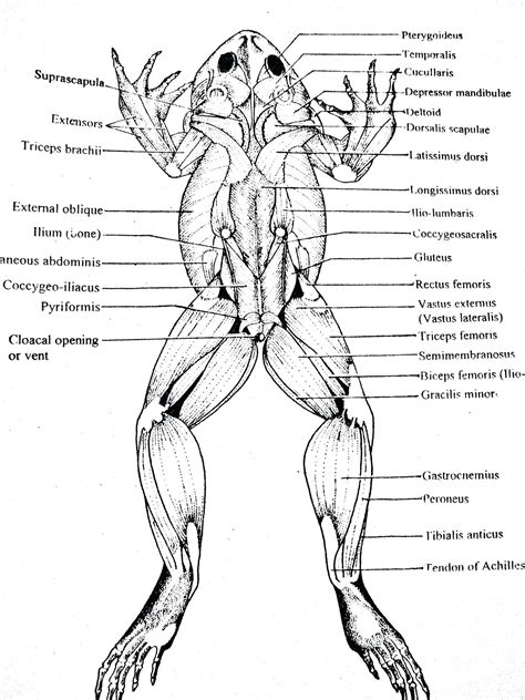diagram of frog anatomy diagram frog external anatomy diagram