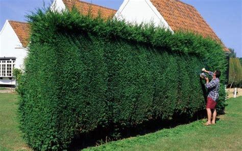siepi per giardini siepi da giardino piante da giardino recinto giardino