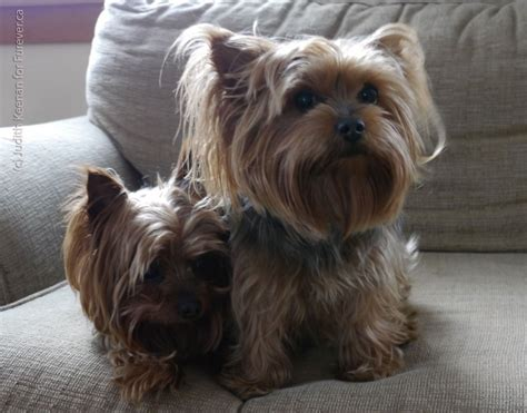 fosters yorkies yorkies in yorkies out happy foster to furever beaver creek farm sanctuary
