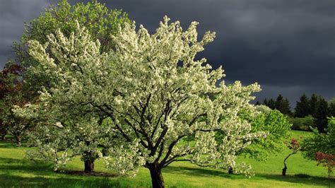 flowering tree pictures beautiful flowers