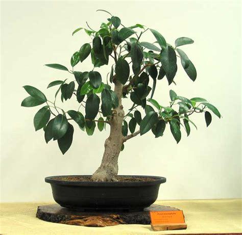 ficus macrophylla australian native plants  bonsai