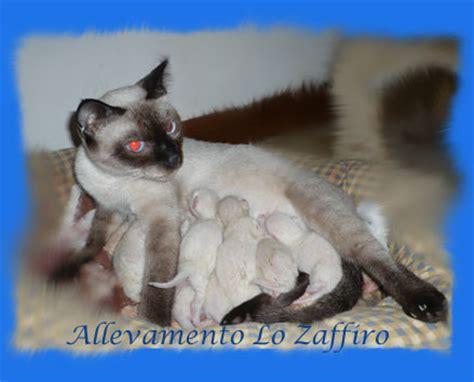 gatti persiani toscana allevamento di gatti siamesi thai quot la fenice quot barga lu