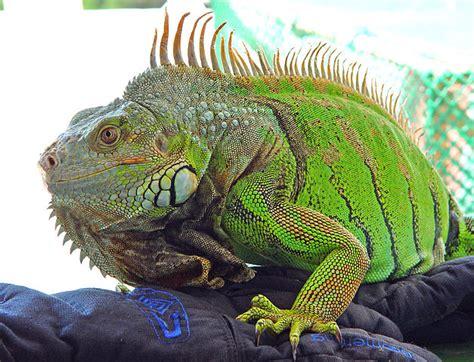 imagenes iguanas verdes file kini iguana jpg wikimedia commons