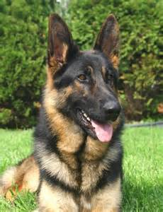 le berger lighting and lightning 2 german shepherds your photos are
