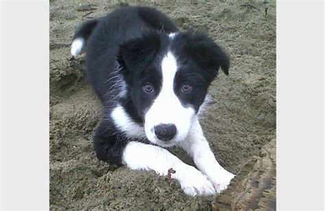 black and white border collie puppy black and white border collie puppies www pixshark images galleries with a bite