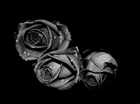 wallpaper black and white roses three black rose flowers wallpaper desktop wallpaper