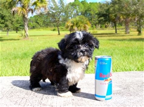 yorkie puppies for sale clearwater fl morkie puppies for sale in florida mix breed terrier maltese fort myers