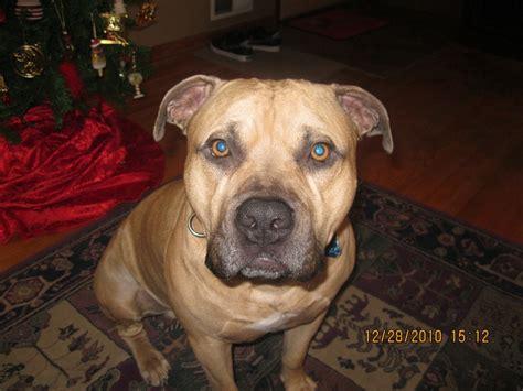 bullmastiff pitbull mix puppies for sale pit bull mastiff mix mastiff puppies pit bull and mastiff mix
