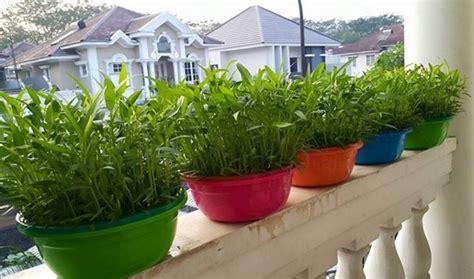jual benih bibit sayur kangkung isi 20 biji harga grosir