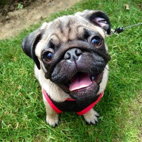 happy pug happy pug animals