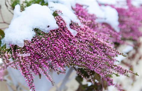 fiori di inverno 10 piante resistenti al freddo fioriscono in inverno