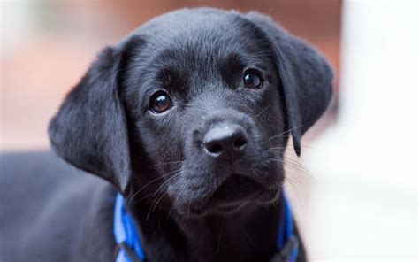 black lab black lab puppy wallpapers wallpaper cave