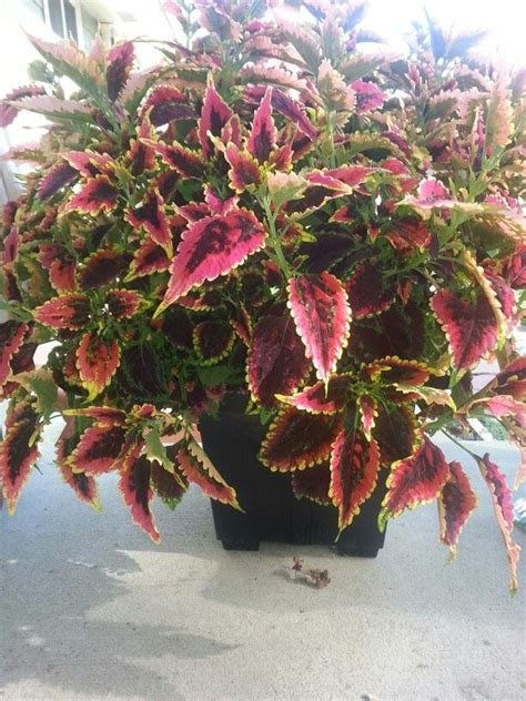80 best images about planta coleus on pinterest gardens planters and shade plants
