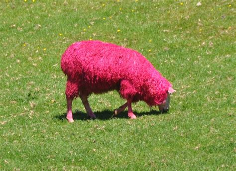 Sheep Pink pink sheep at sheep world photo