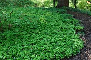 pachysandra ground cover images