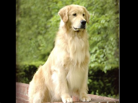 Asterling Golden Retrievers Puppies For Sale