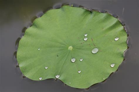 Lotus Leaf Original 30pcs file lotus leaf 5780807820 jpg wikimedia commons