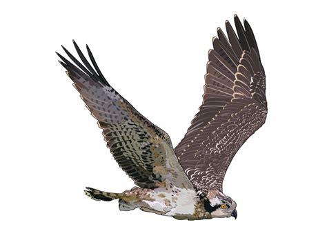 imagenes png aguila imagenes sin copyright 193 guila pescadora volando