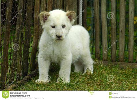 imagenes leon blanco fotos blanco del cachorro de le 243 n foto de archivo imagen de