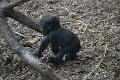 puppy monkey baby gif monkey gifs wifflegif