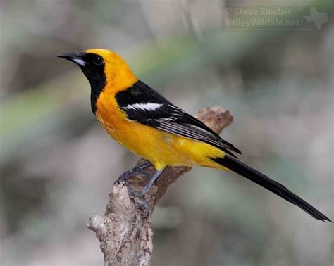 valleywildlife net hooded oriole