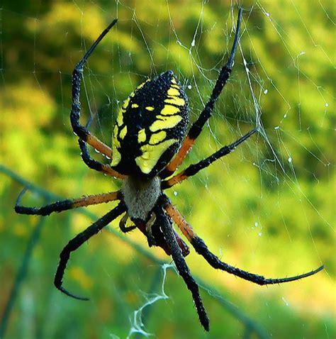 Garden Spider Usa by Common Garden Spider Argiope Aurantia Flickr Photo