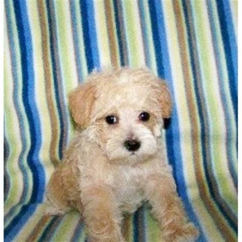 yorkie poo puppies for sale in greenville sc barmor s puppies schnoodle breeder in greenville south carolina