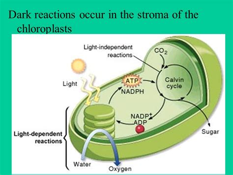 plants photosynthesis a dr production ppt